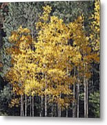 Aspens In Color Metal Print