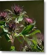 Aster Before Or After Metal Print by Jessica Lowell