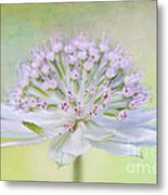 Astrantia Art Metal Print by Jacky Parker