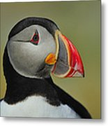 Atlantic Puffin Portrait Metal Print