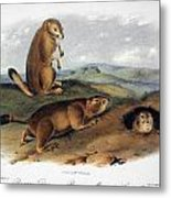 Audubon: Prairie Dog, 1844 Metal Print
