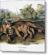 Audubon: The Cougar Metal Print