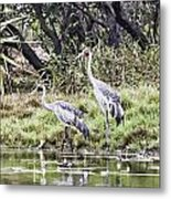 Australian Cranes At The Billabong Metal Print