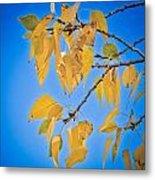 Autumn Aspen Leaves And Blue Sky Metal Print