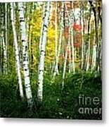 Autumn Birch Grove Metal Print