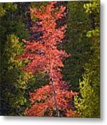 Autumn Scene Of Colorful Red Tree Along The Little Manistee River In Michigan No. 0902 Metal Print