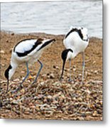 Avocets At Nest Metal Print