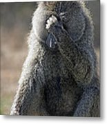 Baboon With Headache Metal Print