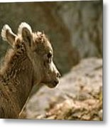 Baby Big Horn Sheep Metal Print