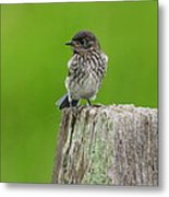 Baby Bluebird On Post Metal Print