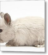 Baby Colorpoint Rabbit Metal Print