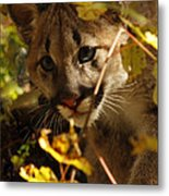 Baby Cougar Playing Peek A Boo In Autumn Forest Metal Print