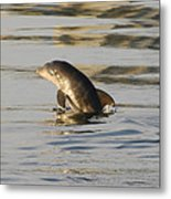 Baby Dolphin Metal Print