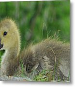 Baby Goose Takes A Break Metal Print