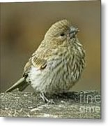 Baby House Finch Metal Print