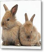 Baby Lionhead Rabbits Metal Print