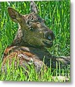 Baby Moose Metal Print