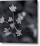 Baby Queen Anne's Lace Monochrome Metal Print