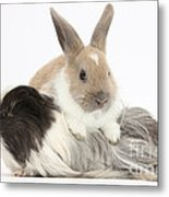 Baby Rabbit And Long-haired Guinea Pig Metal Print