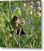 Baby Red Wing Black Bird Calling For Mother Metal Print