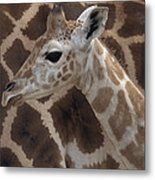 Baby Rothschild Giraffe  Metal Print