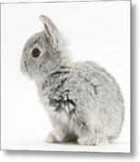 Baby Silver Rabbit Metal Print