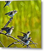 Baby Tree Swallows Feeding #1 Metal Print