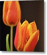 Baby Tulips Close Up Macro Metal Print