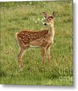 Baby Whitetail Fawn In A Spring Meadow Metal Print