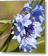 Bachelor Button Blowin In The Wind Metal Print