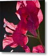 Backlit Pink Metal Print