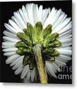 Backside Of A Daisy Flower Metal Print