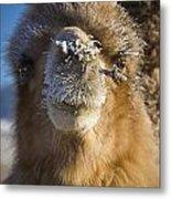 Bactrian Camel Camelus Bactrianus Metal Print