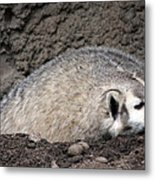 Badger - 0015 Metal Print