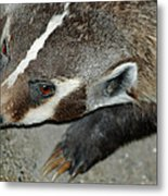 Badger On The Loose Metal Print