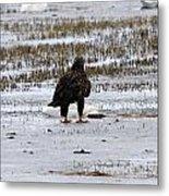 Bald Eagle - Immature - 0031 Metal Print