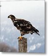 Bald Eagle - Immature - 0035 Metal Print