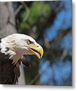 Bald Eagle At Mclane Center Metal Print