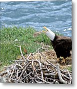 Bald Eagle Calling Metal Print