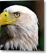 Bald Eagle Close Up Metal Print