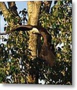 Bald Eagle Decending From Nest Metal Print