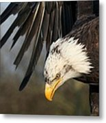 Bald Eagle Diving Metal Print