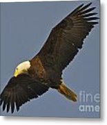 Bald Eagle Fly Over Metal Print