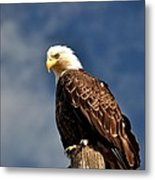 Bald Eagle Homer Alaska Metal Print
