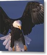 Bald Eagle Hovering In The Air Metal Print