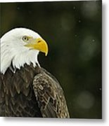 Bald Eagle In Ecomuseum Zoo Metal Print