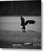 Bald Eagle Take Off Series 6 Of 8 Metal Print