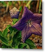 Balloon Flower - Antiqued Metal Print