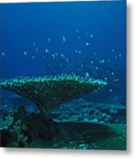 Banded Damselfish Swim Metal Print