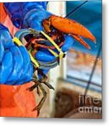 Banding An American Lobster In Chatham On Cape Cod Metal Print